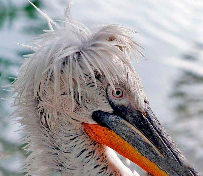 Голова кудрявого пеликана