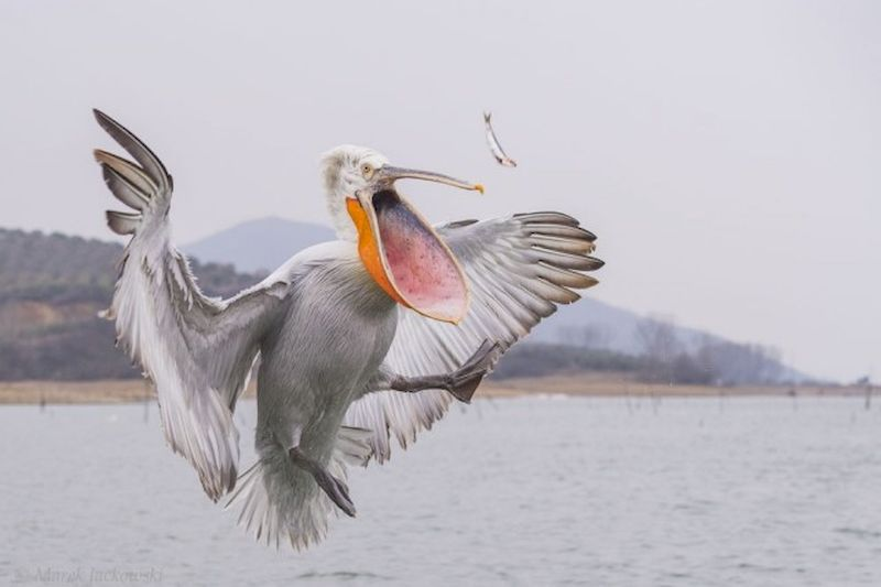 Кудрявый пеликан ловит рыбу