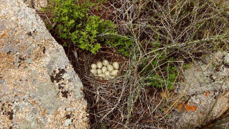 Яйца бородатой куропатки