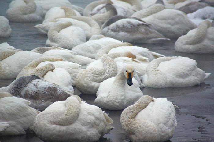 Лебедь Малый на зимовке