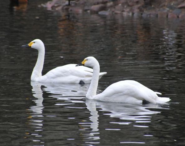 Лебедь Малый плавает