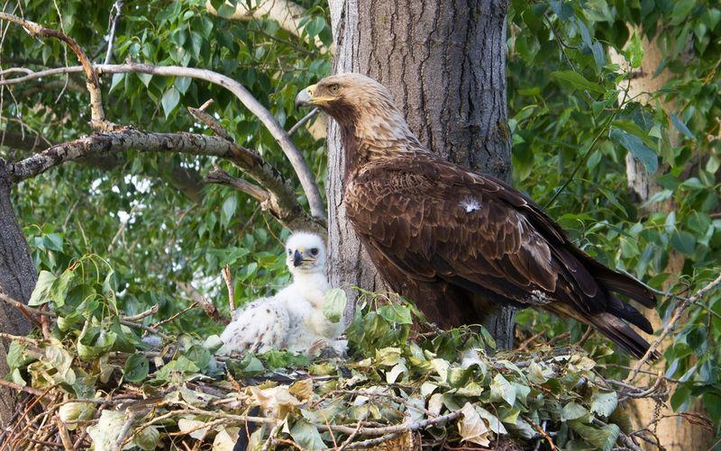 Могильник с птенцом в гнезде