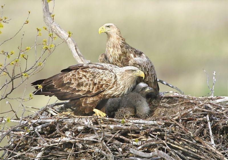 Самец и самка орлана-белохвоста в гнезде