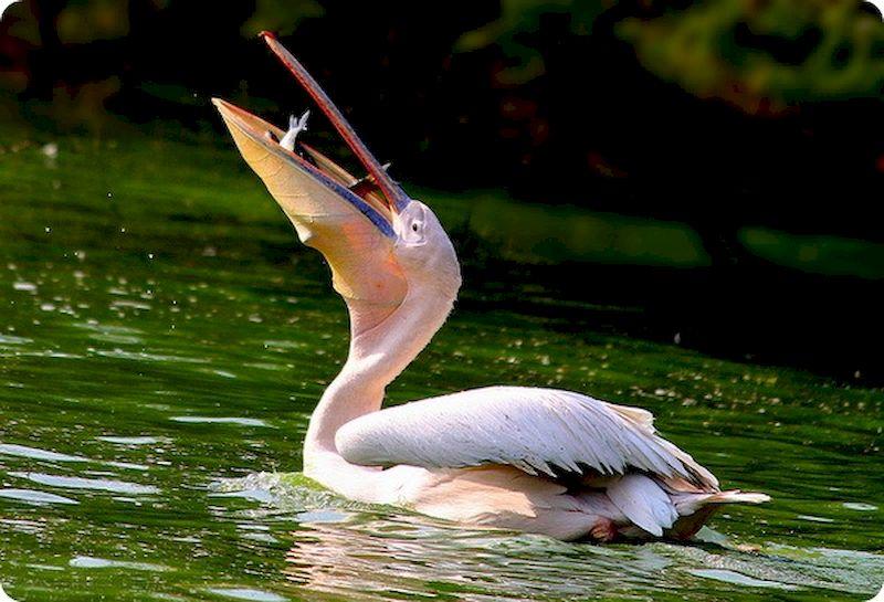 Розовый пеликан есть рыбу
