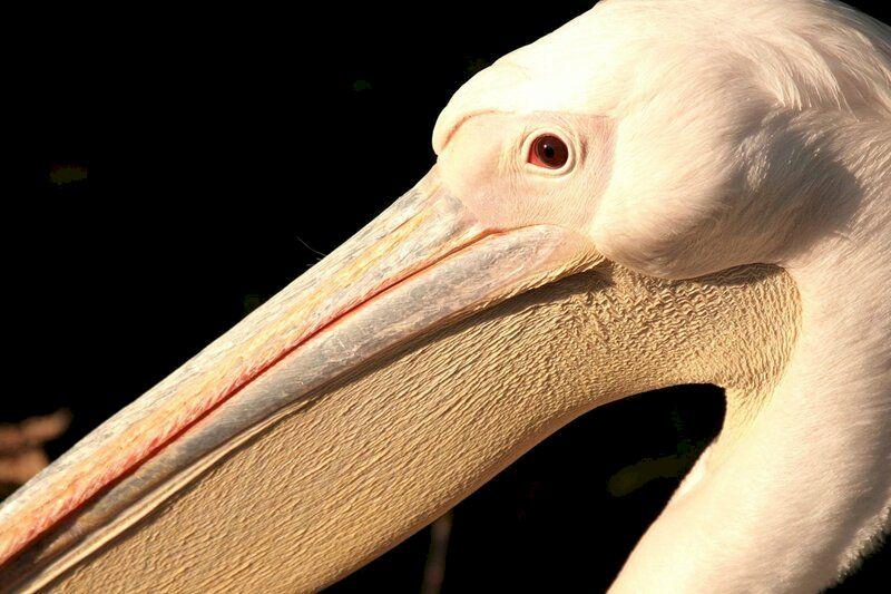 Клюв розового пеликана