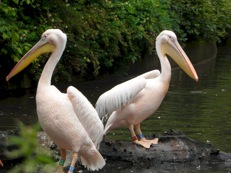 Брачные игры розовых пеликанов