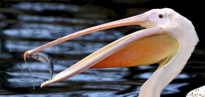 Пеликан ест
