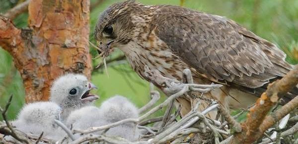 Кречет с птенцами