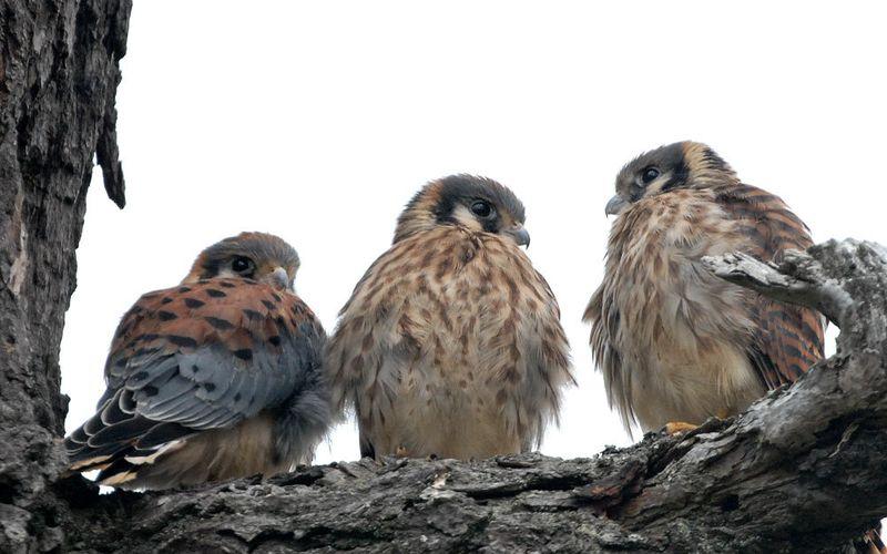 Птенцы степной пустельги