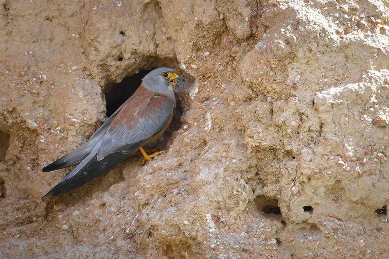 Пустельга Степная в гнезде