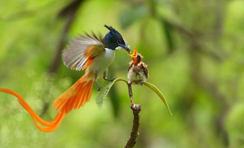 Райская мухоловка кормит птенца