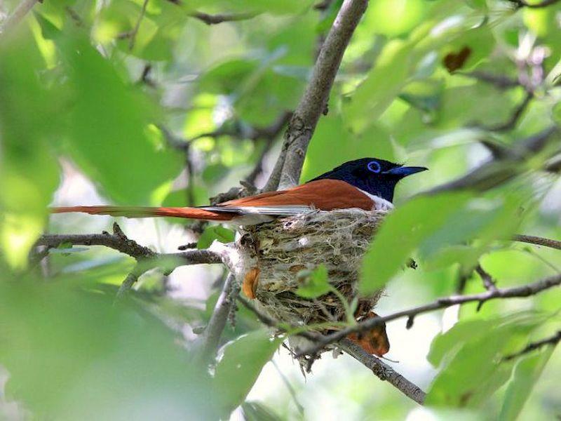Райская мухоловка в своём гнезде