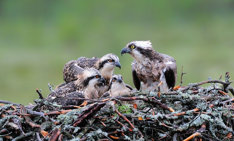 Гнездо скопы с птенцами