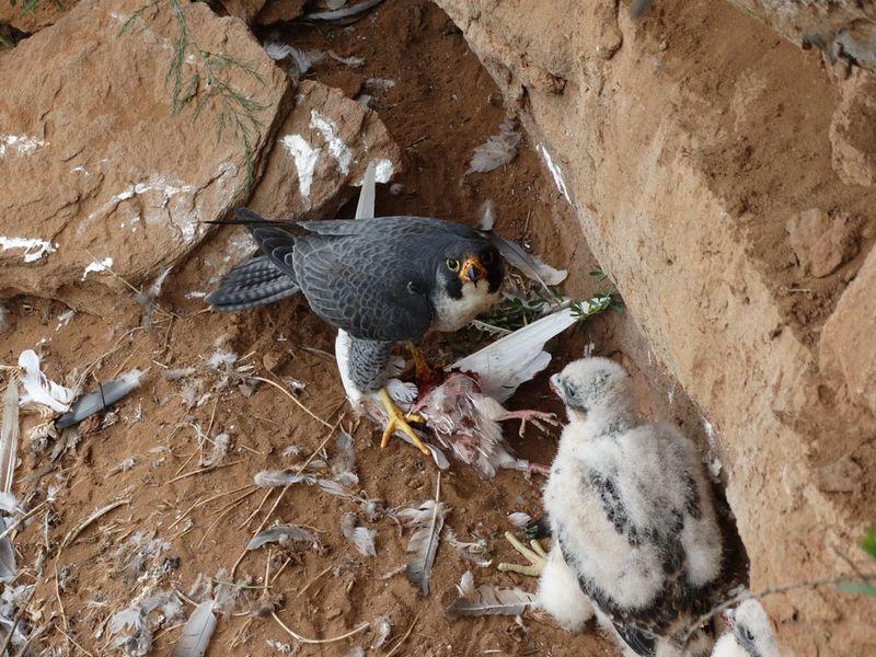 Сокол Сапсан и его птенцы