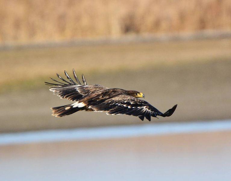 Степной орел в полете