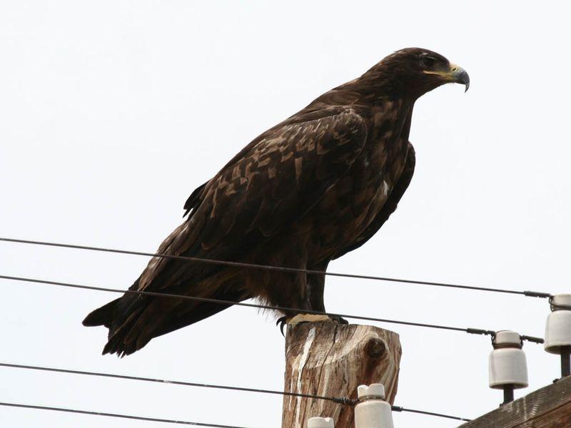 Степной орёл на проводах