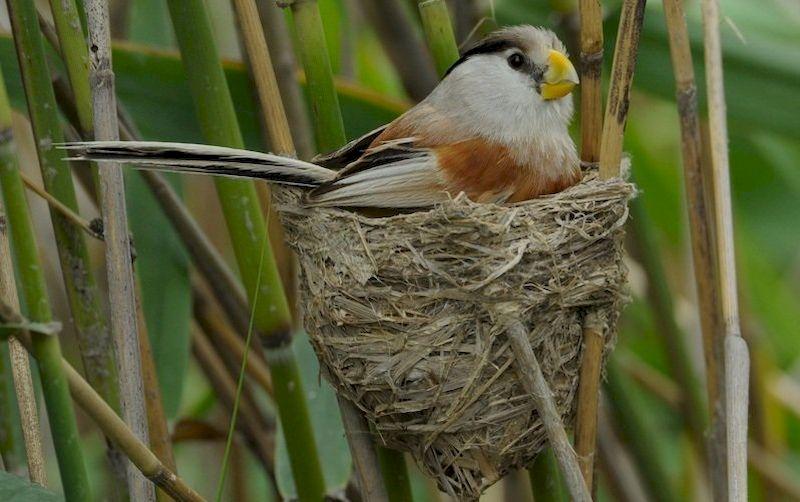 Тростниковая сутора в гнезде