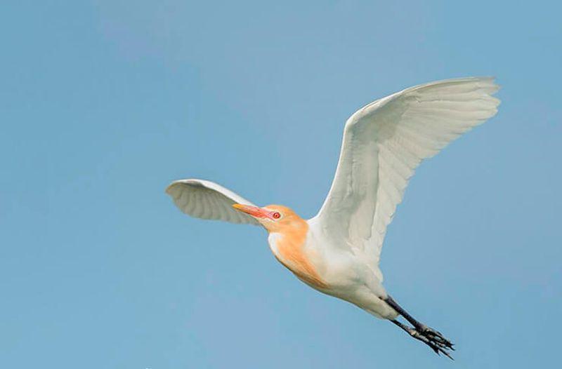 Цапля Египетская летит на зимовку