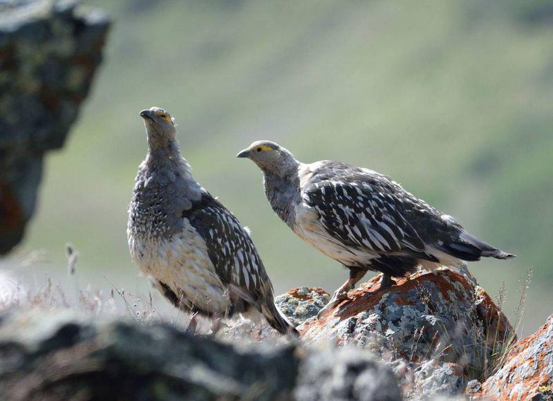 Самка и самец алтайского улара