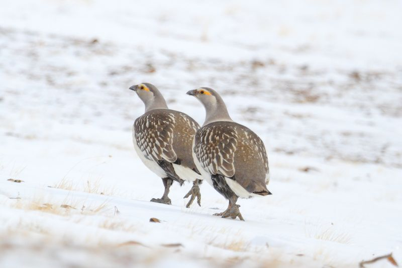 Алтайские улары зимой