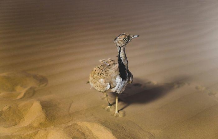 Вихляй в пустыне